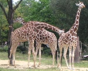 hex giraffe