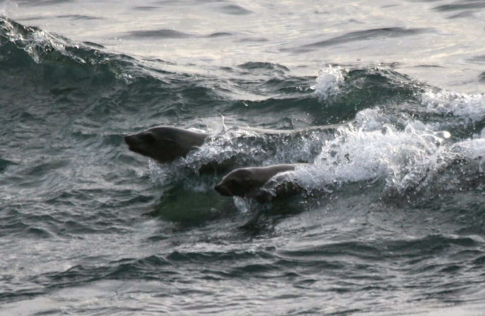 Sea lions surfing